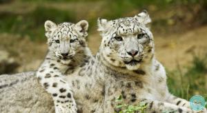 belyi-leopard