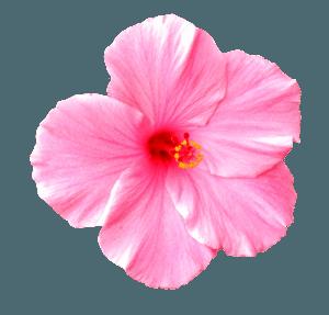 rozovyj-tsveto